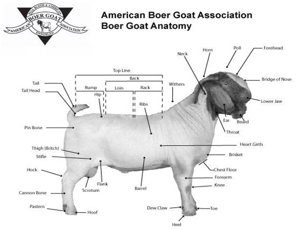 Market Goat Diagram
