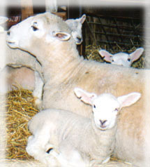 Q Disease Cattle sheep  cattle  and goats